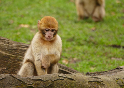 Apes in Azrou