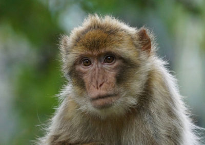 barbary ape Azrou