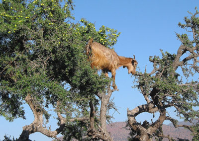 capre con argan