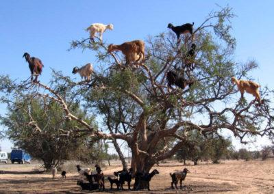 Argan goat
