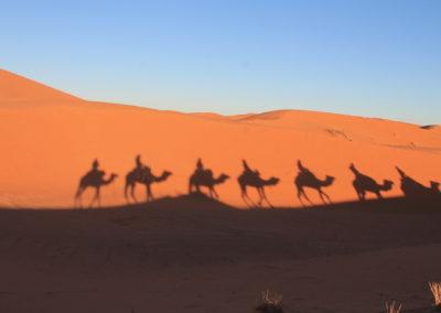 desert-camel